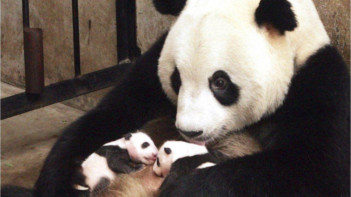 ¡Una buena noticia! El panda gigante ya no está en peligro de extinción