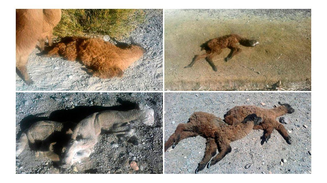 Llamas y ovejas mueren por el frío y la sequía en Antofagasta