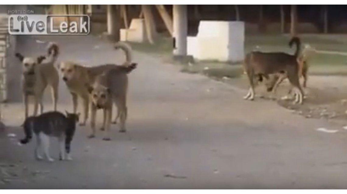 El gato más valiente del mundo: se enfrenta a una jauría que lo amenaza