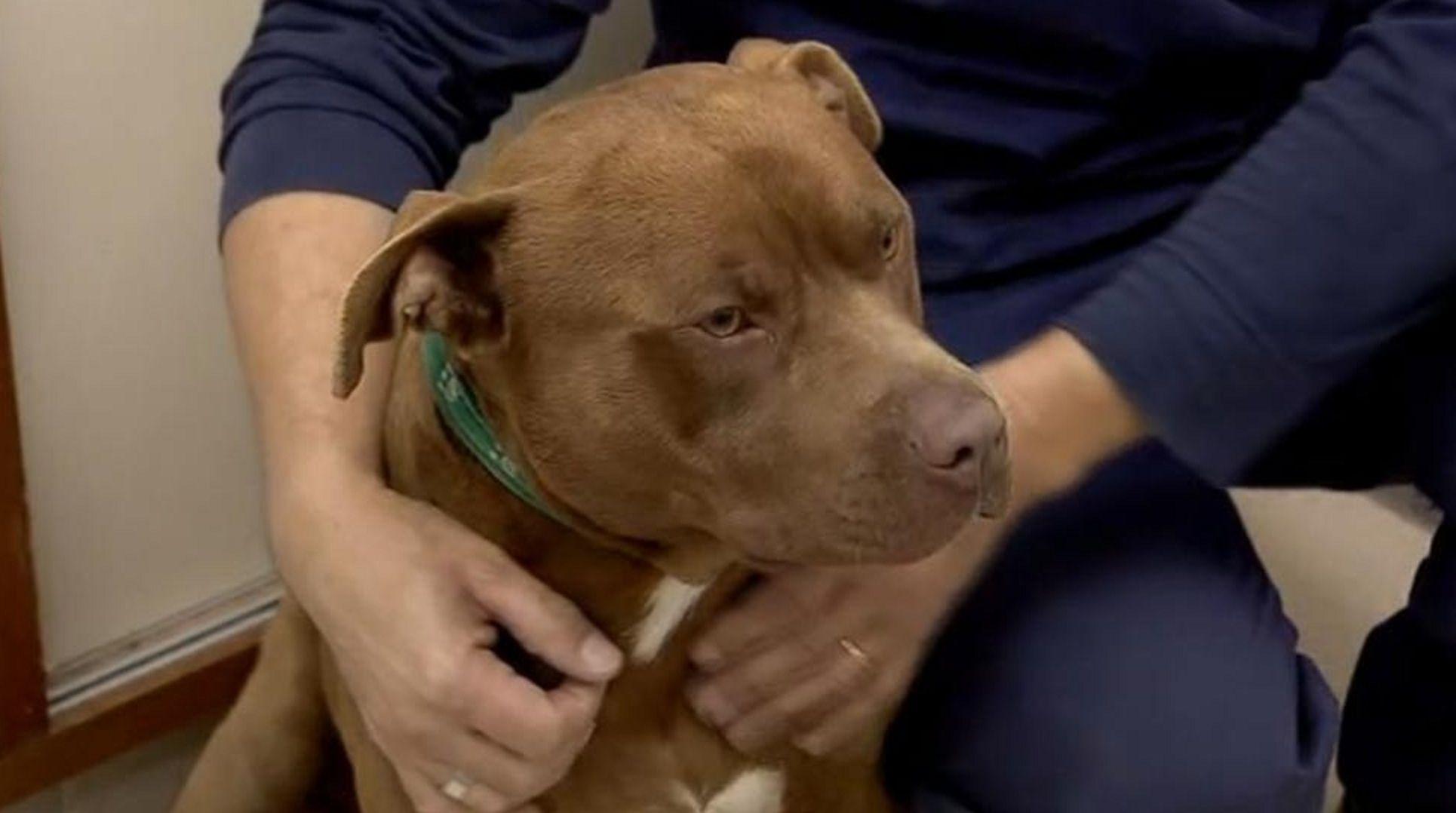 Así está el pitbull que fue torturado por empleados municipales de Tigre