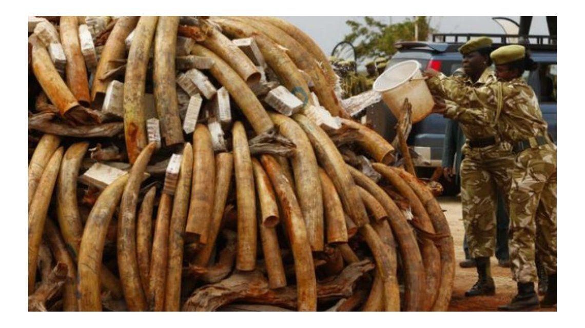 Por la caza, en apenas 15 años podrían desaparecer los elefantes
