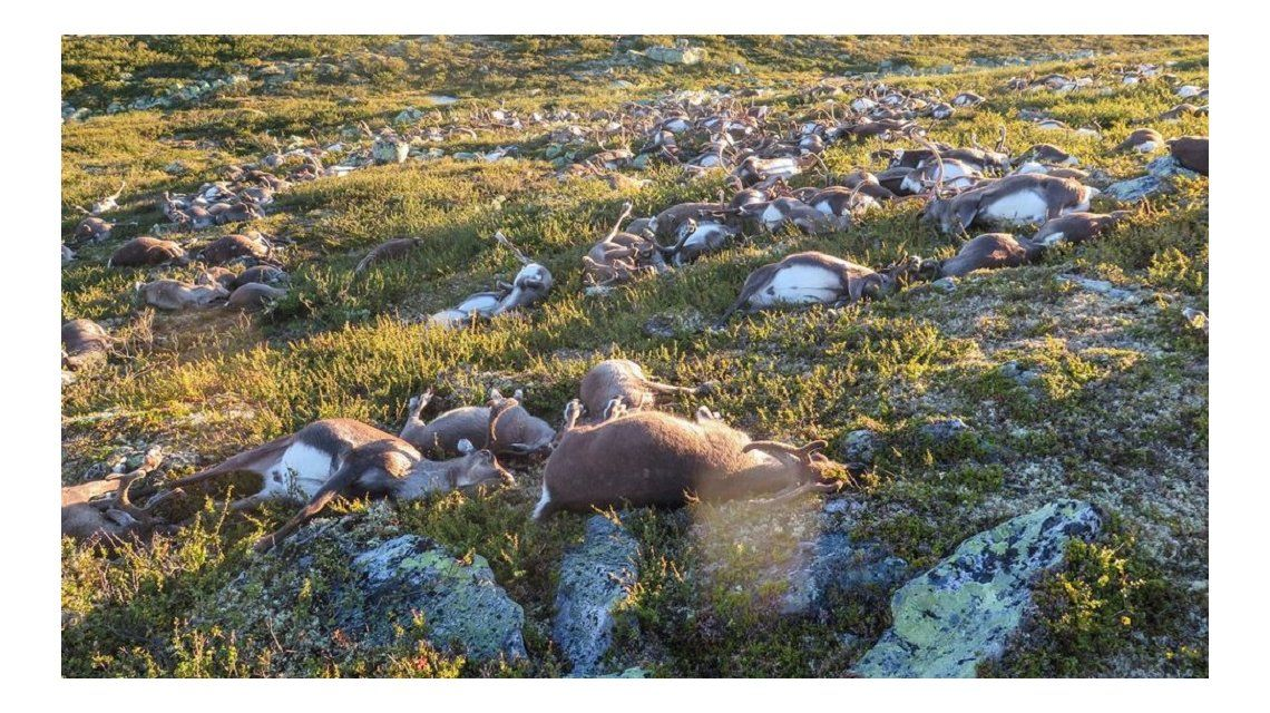 Impresionante: un rayo mató a más de 300 renos en Noruega