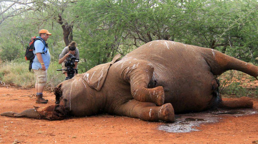 Por la caza en apenas 15 a os podr an desaparecer los elefantes maltrato animal - Como se aparean los elefantes ...