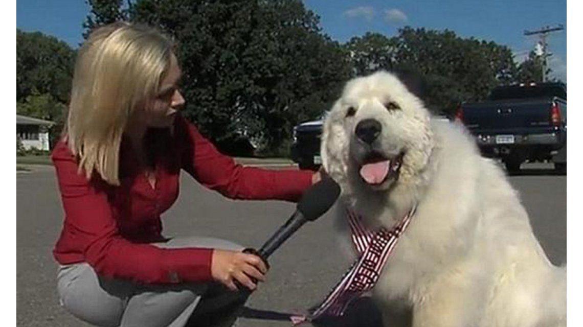 Un perro  fue elegido intendente por tercera vez en un pueblo de Estados Unidos