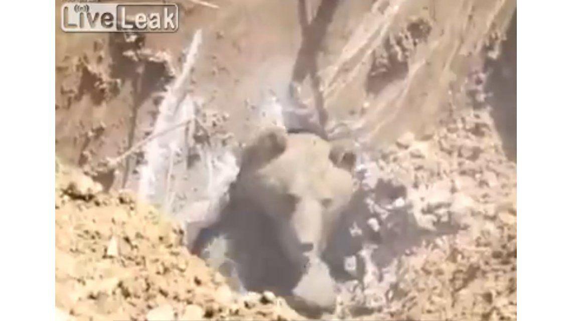 VIDEO: Salvan a un oso atrapado con un martillo neumático