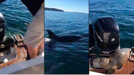 VIDEO: Una foca bebé escapó de dos orcas subiéndose a una lancha
