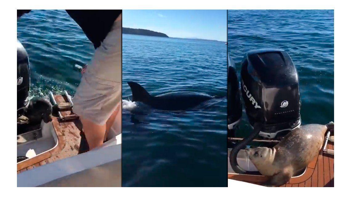 VIDEO: Una foca bebé escapó de dos gigantescas orcas subiéndose a una lancha