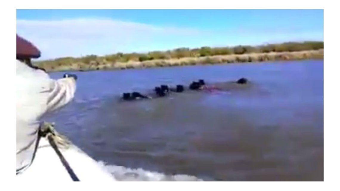 VIDEO: Brutal caza de jabalíes en el Río Uruguay   Entre Ríos