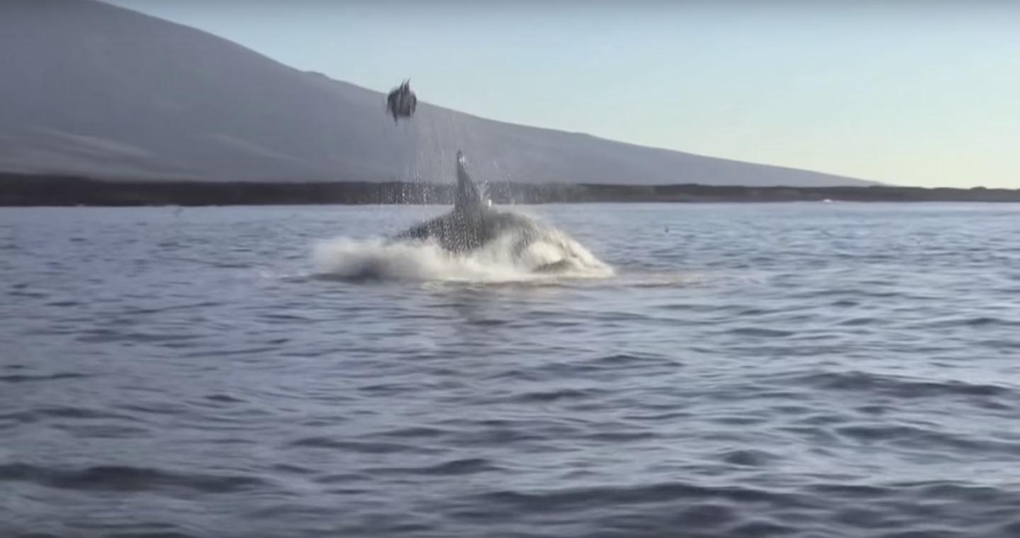 VIDEO: Una orca vuelve loca a una tortuga y la tira por los aires