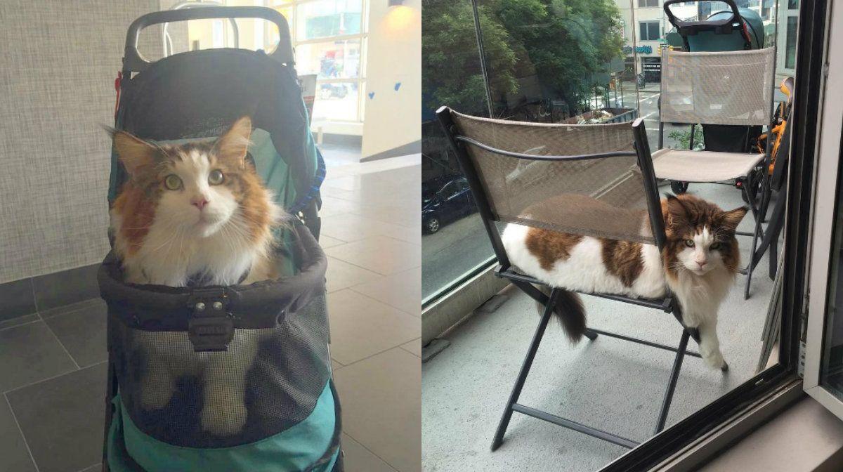 Nada de faldero: el gato más grande del mundo conquistó las redes
