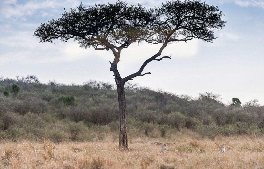 Hay tres guepardos en la foto, pero sólo podrás ver dos: ¿dónde está el otro?