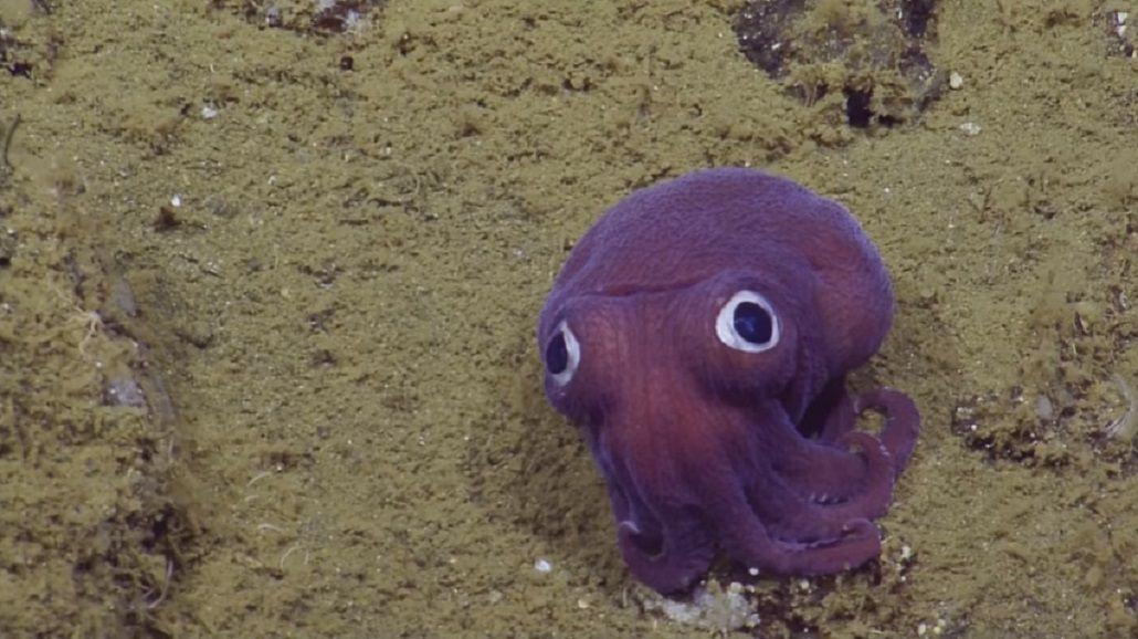 Encontraron al calamar más adorable del mundo y no pueden parar de reírse