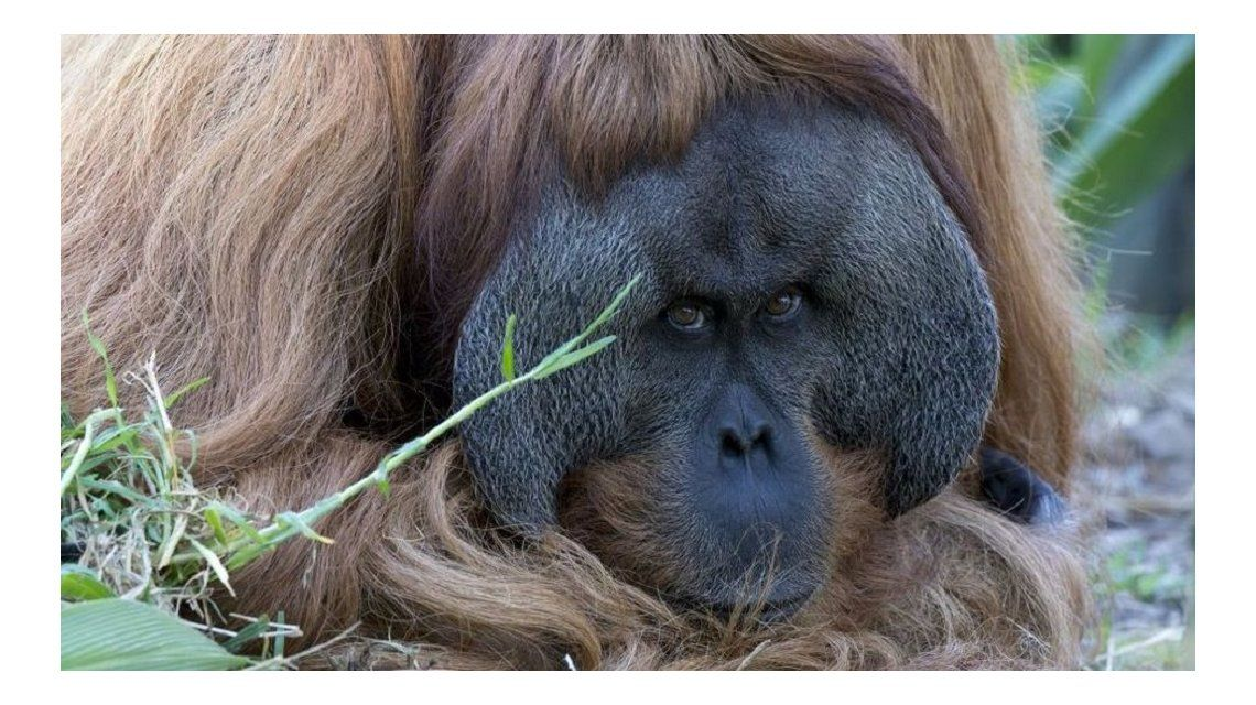 VIDEO: Kuet, el increíble orangután que sabe tocar jazz