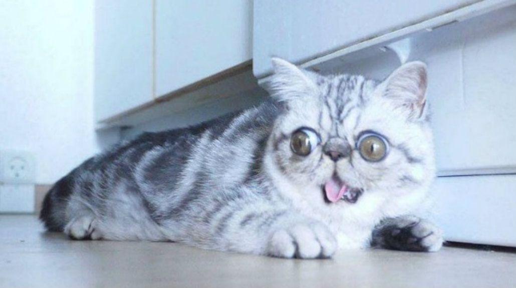 Herman, el gato asustado, se convirtió en una celebridad por su extraño defecto