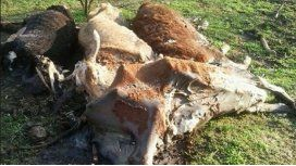 Misterio en Santa Fe por 50 vacas muertas en un campo