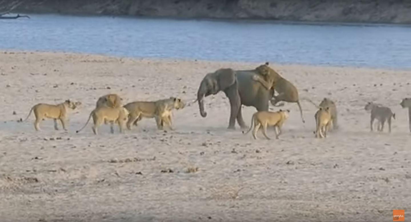 Un pequeño elefante luchó contra 14 leonas: mirá quién ganó