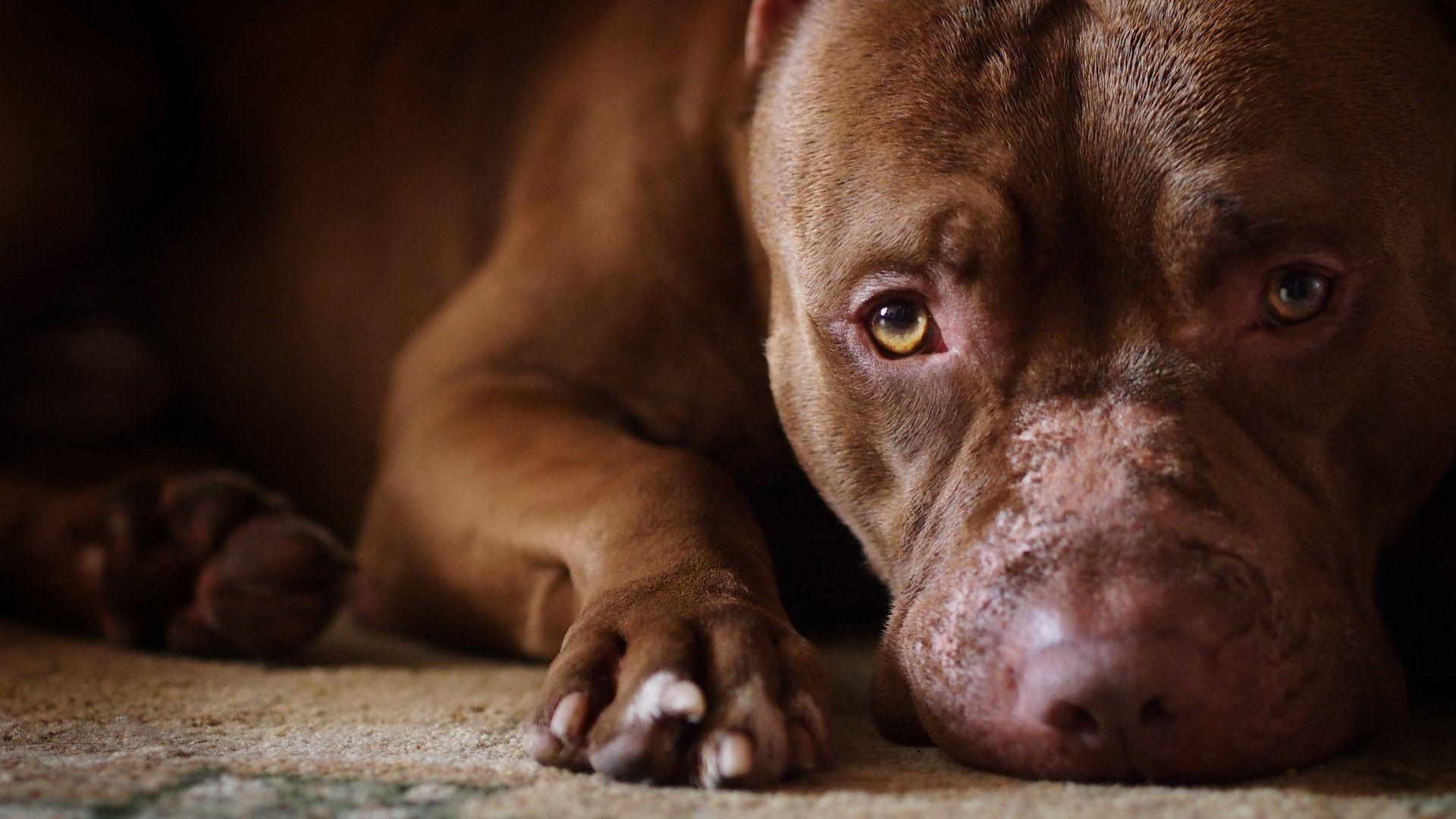 Un policía mató a un perro pitbull que lo atacó mientras perseguía a dos ladrones