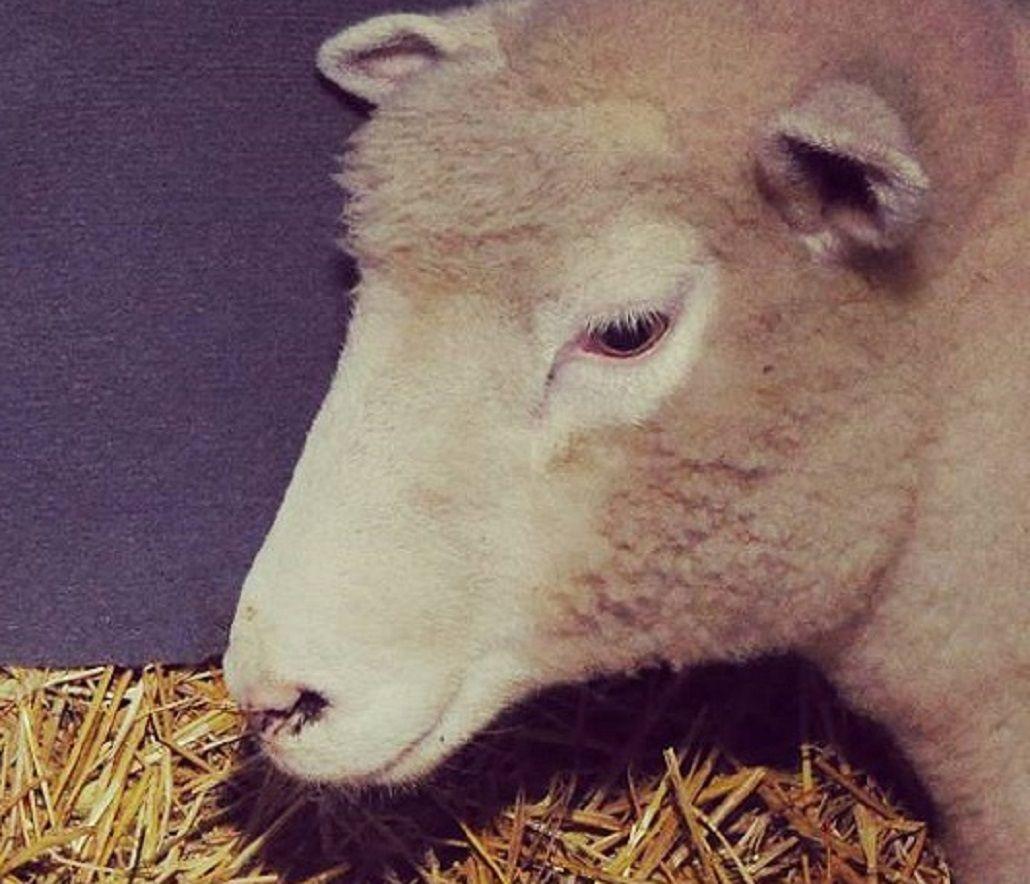 Nacieron ovejitas mellizas en La Rural: mirá la tierna imagen