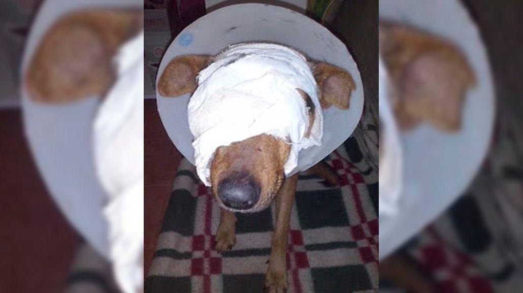 Crueldad extrema: le arrancó un ojo y los testículos a un perro