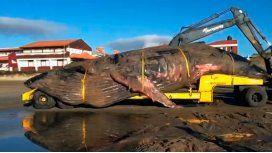 Inmensa tristeza: así trasladaron a la ballena