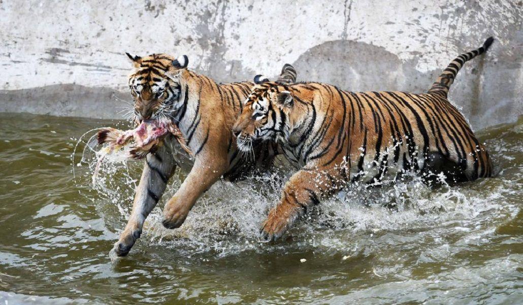 Discutió con una amiga en un zoológico, salió del auto y la mató un tigre
