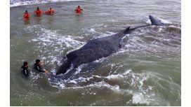 Apareció muerta la ballena de Mar del Tuyú