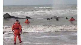 Prefectura intenta rescatar a una ballena encallada en Mar del Tuyu