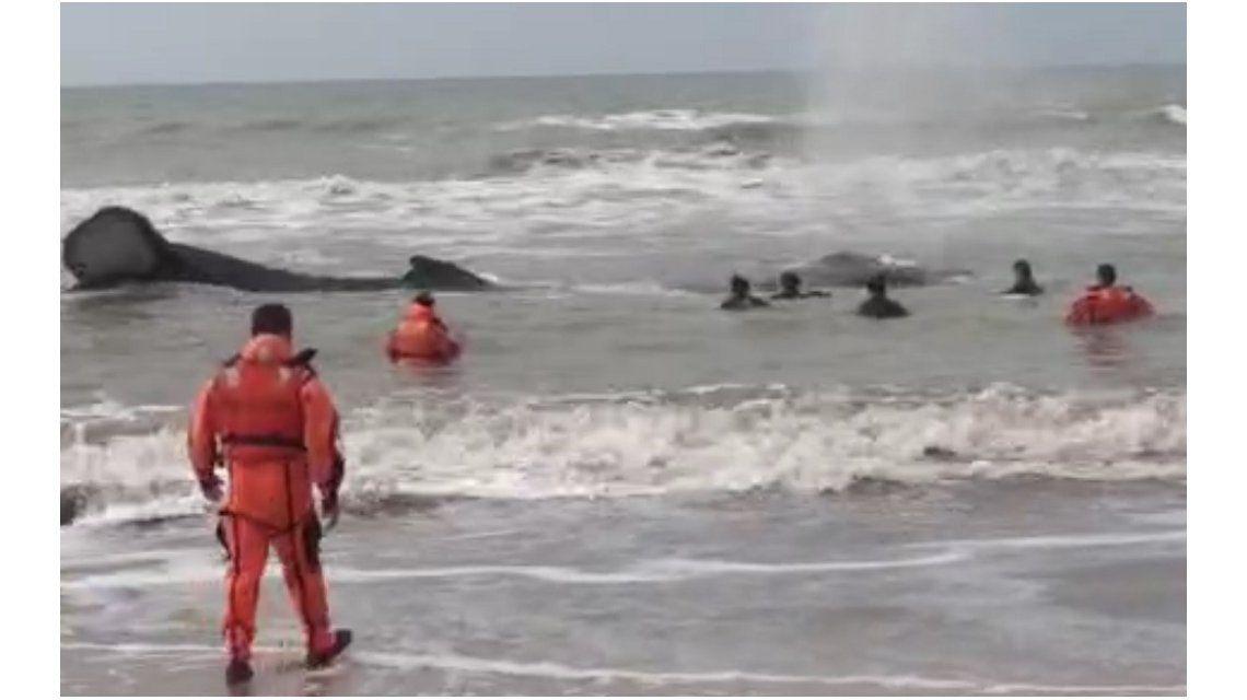 Final feliz: logran liberar a la ballena que había varado en Mar del Tuyú