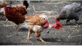 El gallo, rodeado de las gallinas con la eligió vivir. Foto diario El Tribuno.