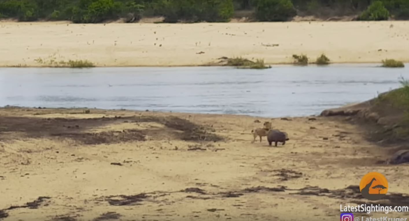 Poderoso el chiquitín: mirá la cría de hipopótamo que defiende a su madre de un león
