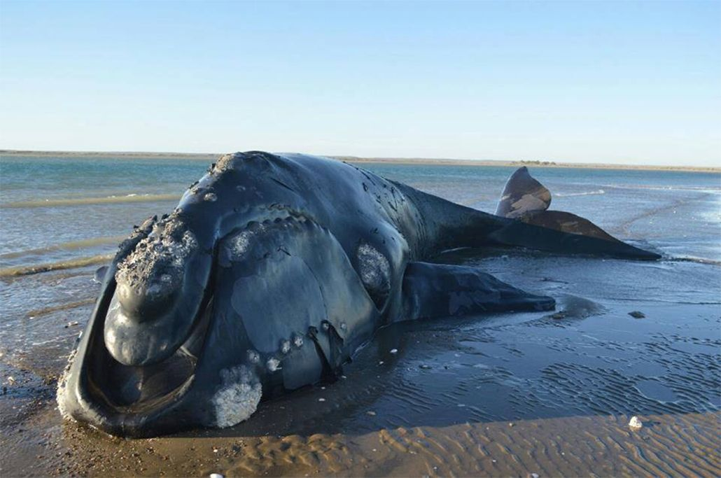 Murió la ballena franca que estuvo ocho días varada en la costa rionegrina