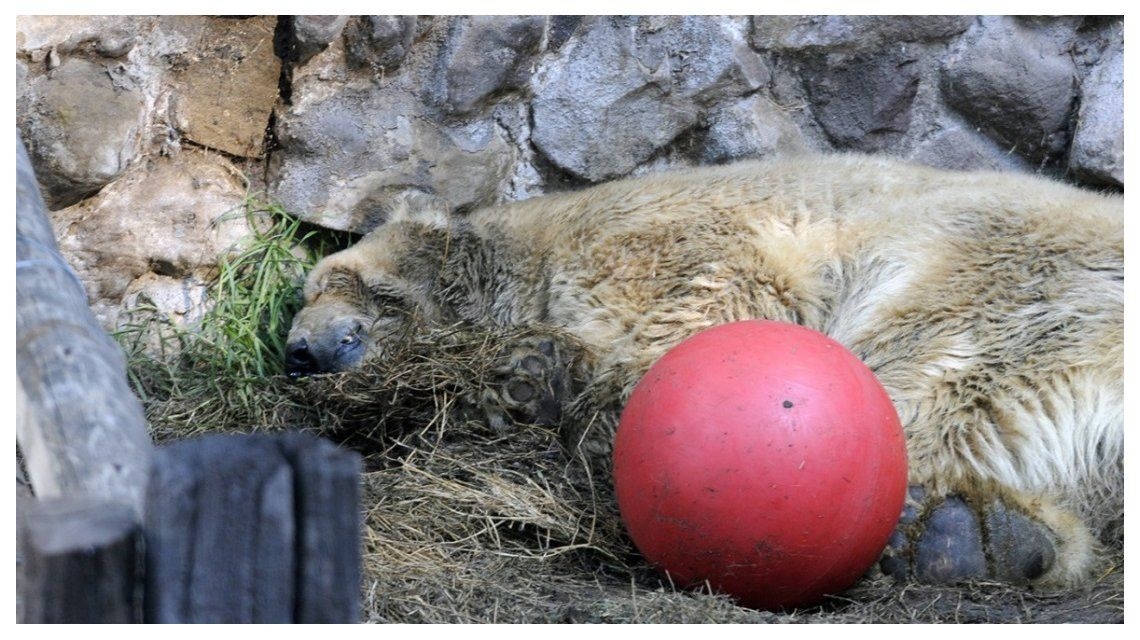 Mendoza: murió el oso polar Arturo