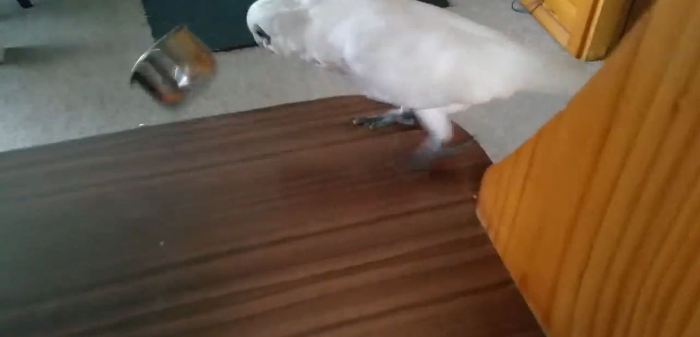 VIDEO: Eric, la cotorra que se enfurece cuando le dan de comer brócoli
