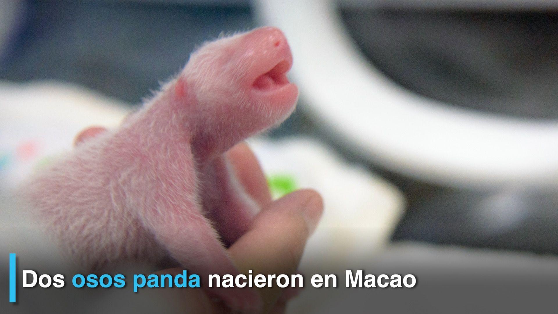 Nacieron gemelos de oso panda gigante en China
