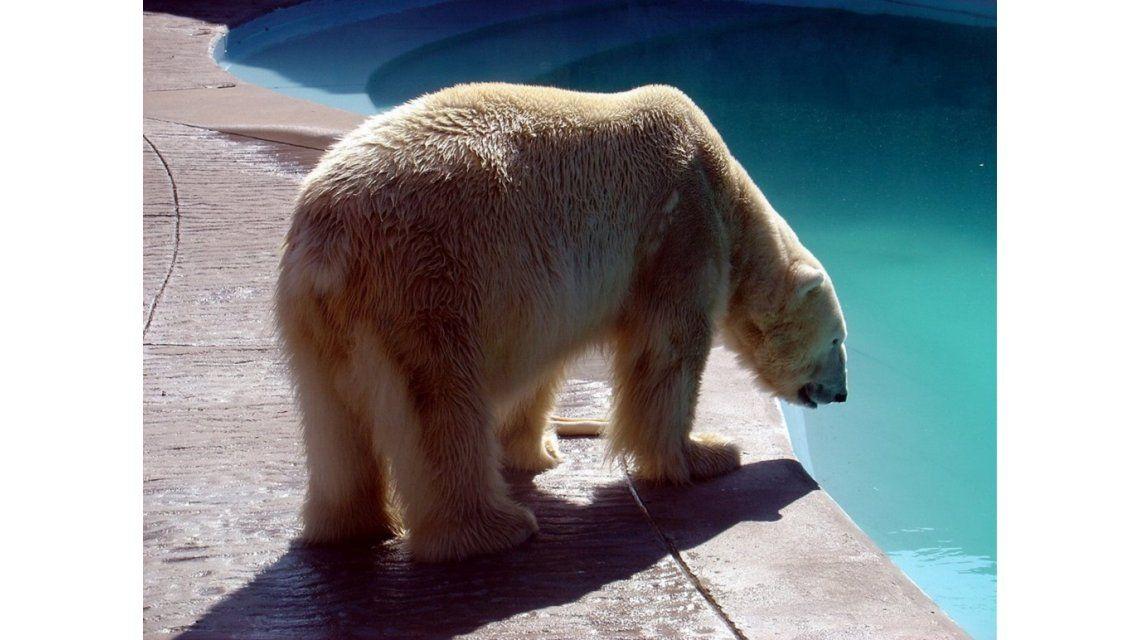 Mientras el oso Arturo agoniza, rematarían animales del zoo de Mendoza