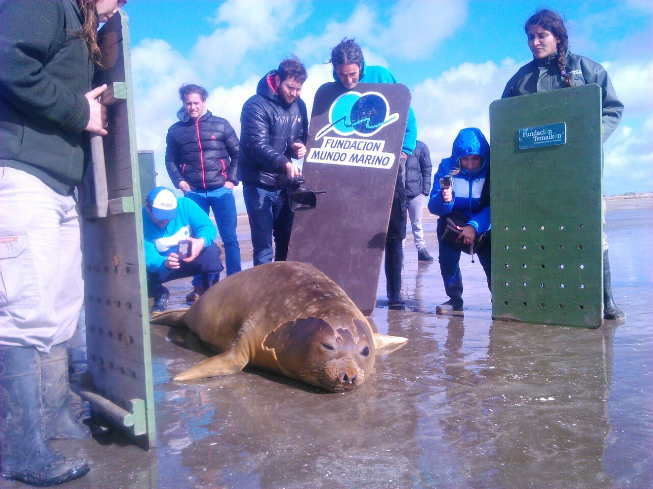 Liberaron al elefante marino que había quedado atrapado en San Fernando