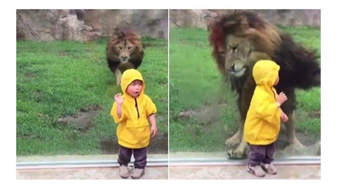 Terror en el zoo: así atacó un león a un niño en Japón