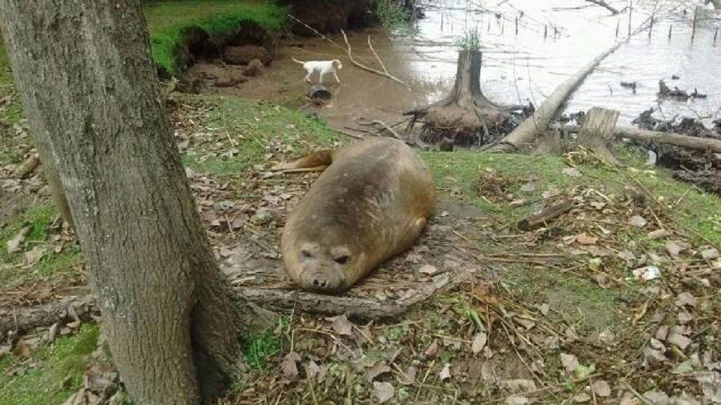 Vecinos denuncian que hay un lobo marino perdido en San Fernando
