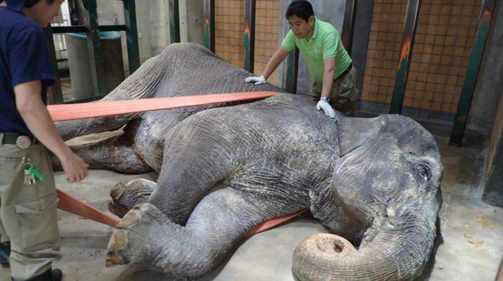 Murió el elefante más viejo de Japón después de pasar 67 años en soledad