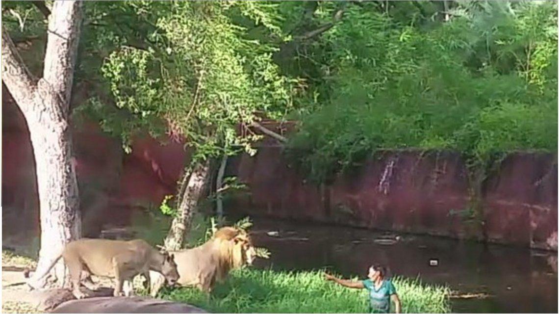 Un borracho saltó a la jaula de los leones y quiso darles la mano: mirá el video