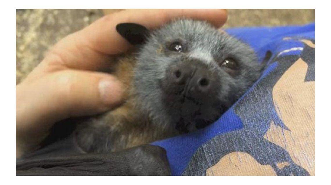 Pura ternura: así reacciona un murciélago huérfano cuando lo acarician
