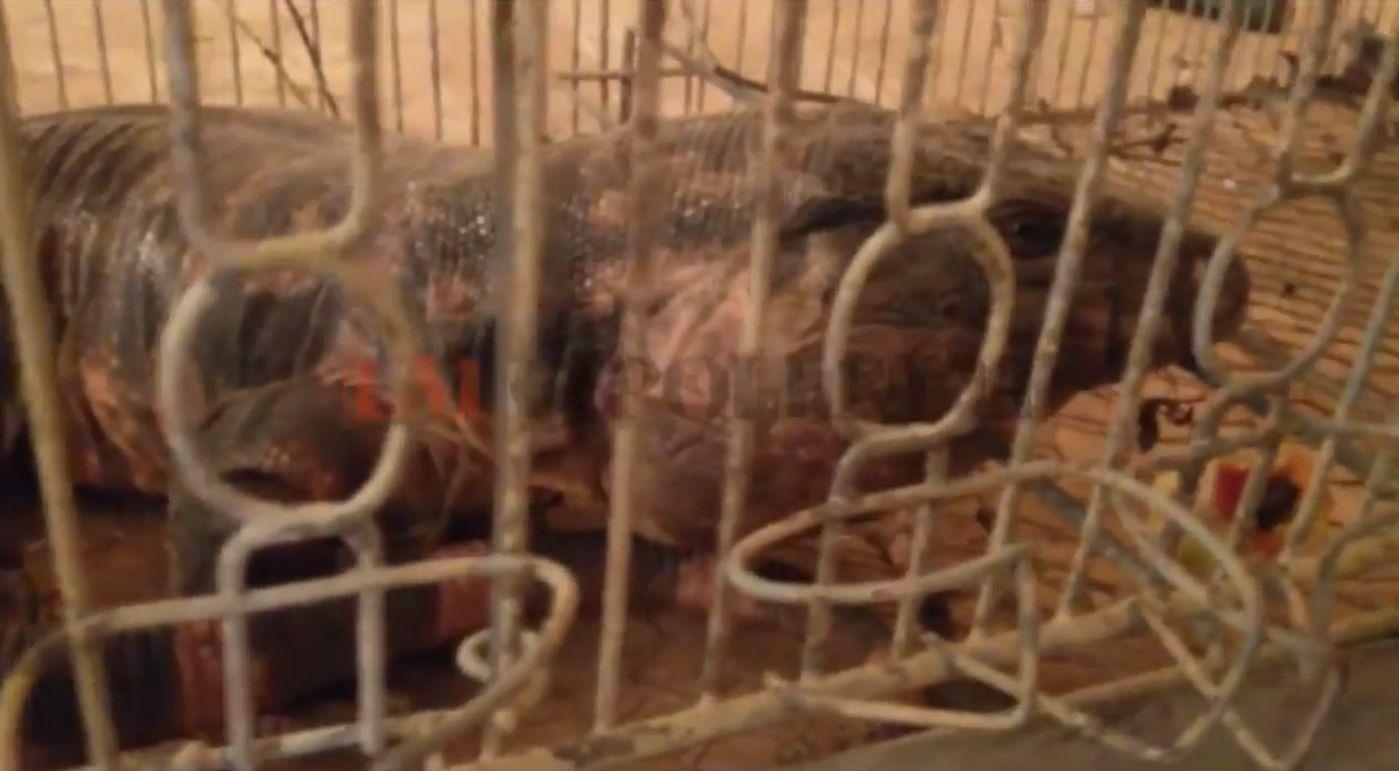 Extraña aparición: abrieron la puerta de su casa y se les metió un lagarto