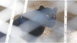 Murió la pantera negra del zoo y analizan el cierre