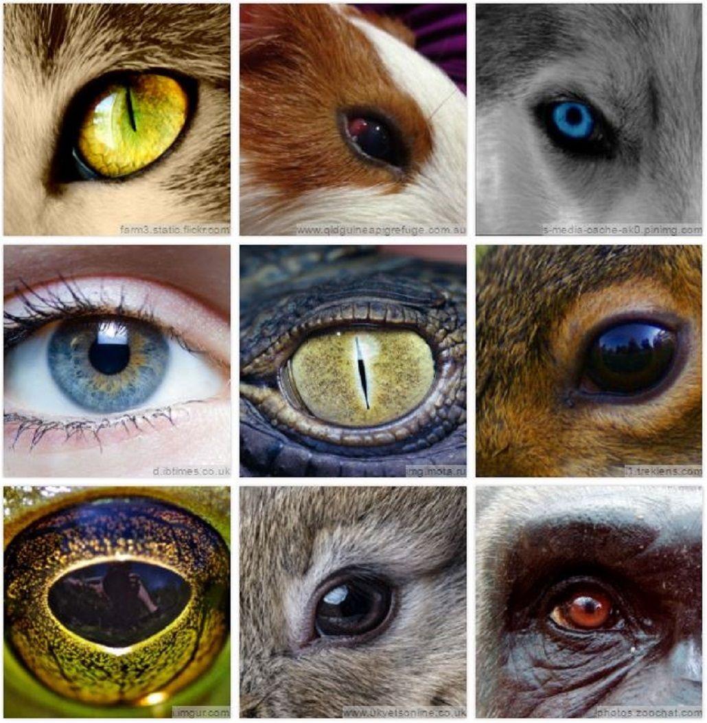 Adiviná los animales a partir de sus ojos