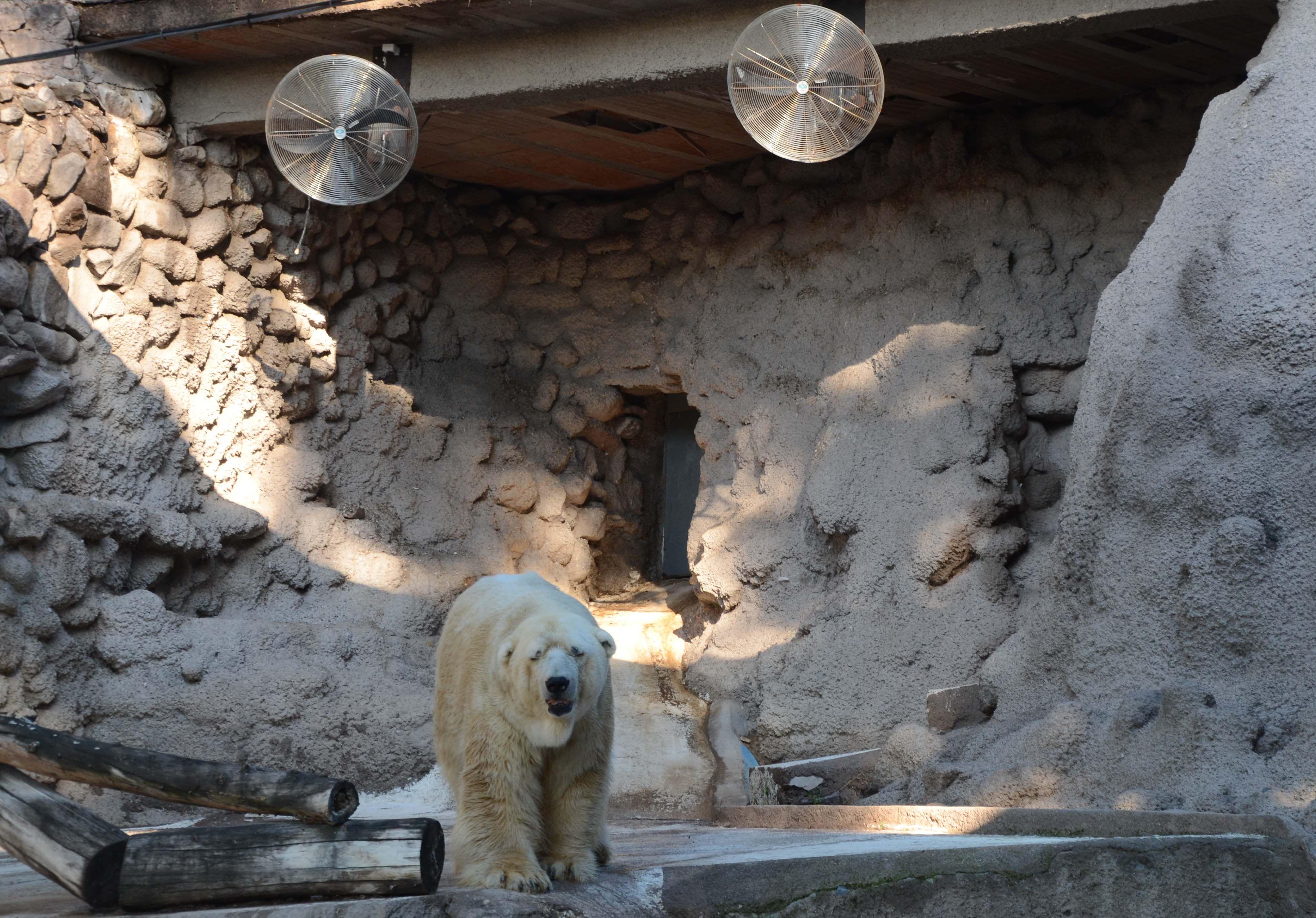 Preocupación por el delicado estado de salud de Arturo, el único oso polar del país