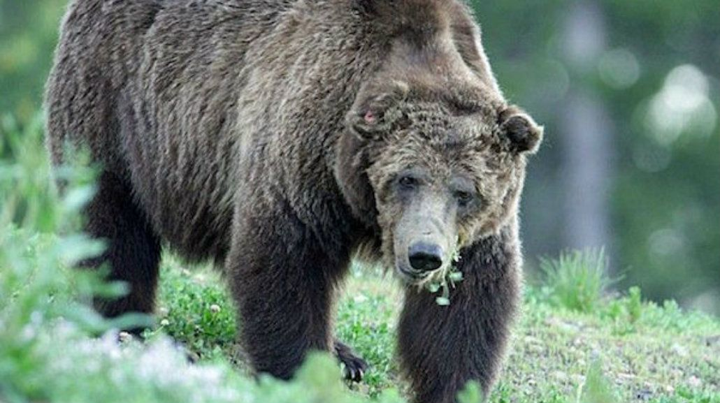 Mataron de un disparo al oso más popular del Parque Nacional de Yellowstone