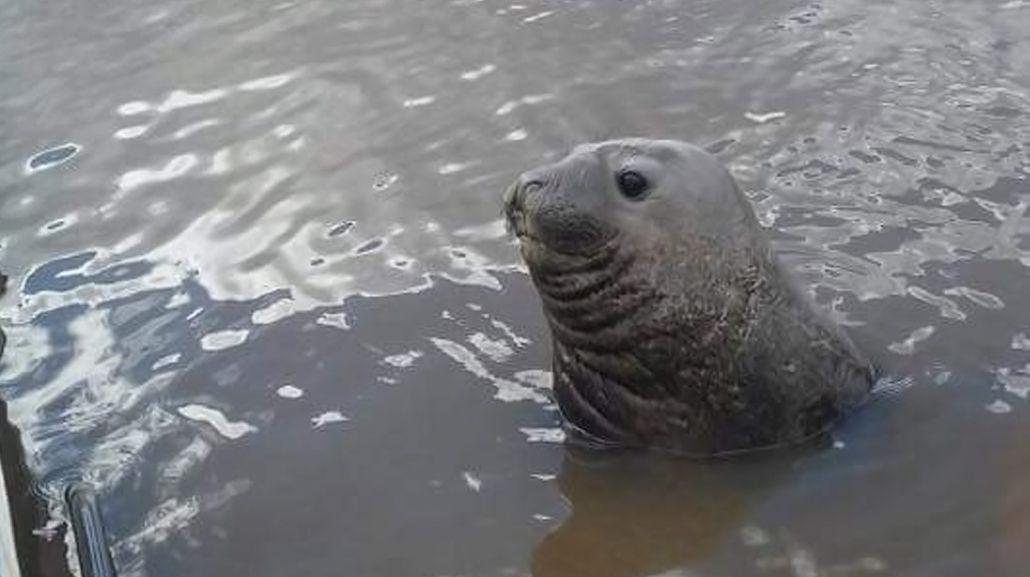Intentan rescatar a un elefante marino que apareció en las costas de Gualeguaychú