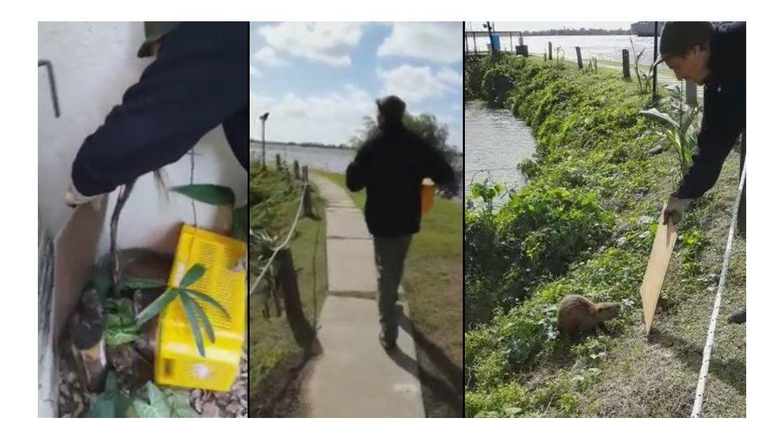 VIDEO: Apareció una nutria en su casa, la atrapó y la devolvió al río