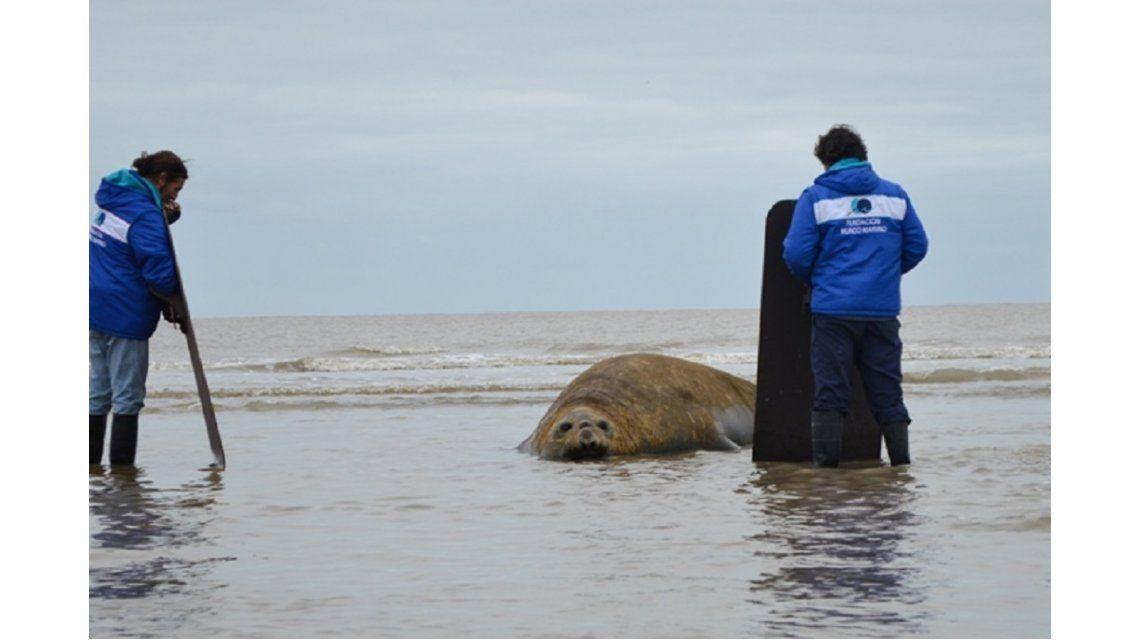 VIDEO: El elefante marino que apareció en Gualeguaychú fue devuelto al mar