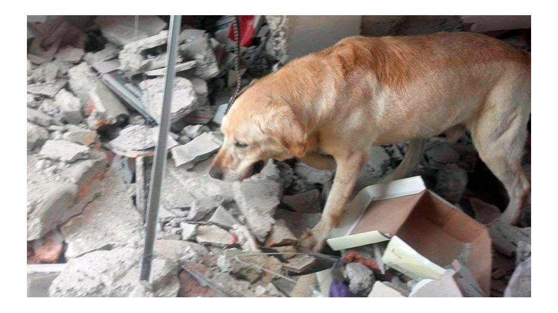 Murió Dayko, el perro héroe que ayudó a rescatar sobrevivientes en Ecuador